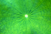 Lotus green leaf macro photography — Stock Photo