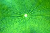 Lotus green leaf macro photography — Stock Photo