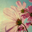 Vintage Cosmos flowers in sunset time — Stock Photo #51657675