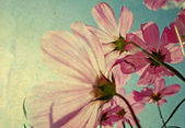 Vintage Cosmos flowers in sunset time — Stock Photo
