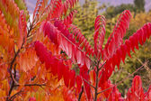 Staghorn sumac — Stock Photo