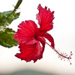 Hibiscus Flower. — Stock Photo