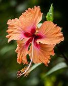 Turuncu hibiscus çiçek. — Stok fotoğraf