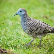Zebra Dove walking on the grass. - Stok fotoğraf