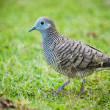 Zebra Dove walking on the grass. — Stock Photo