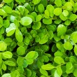 Fresh green boxwood leaves - Stock Photo