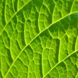 Tracery of veins on a leaf - Stock Photo