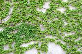 Verde rampicante cresce su un rampicante di parete verde cresce su un muro — Foto Stock