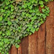 Ivy creeper on rustic wooden fence - Stock Photo
