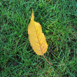 Yellow autumn leaf - Stock Photo