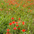 Red poppies growing wild Red poppies growing wild - Stock Photo