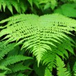 Fresh green fern frond — Stock Photo #25474285