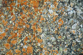 Lichens on a rock — Stock Photo