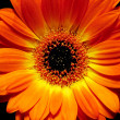 Stock Photo: Orange Gerbera