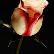 Exquisite bicolour white and red rose — Stock Photo