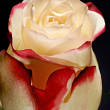 Beautiful bicolour rose — Stock Photo