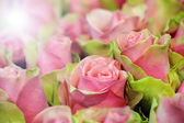 Beautiful bicolour pink roses — Stock Photo