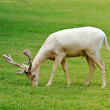 Albino fallow deer — Stock Photo
