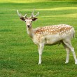 Beautiful spotted fallow deer buck — Stock Photo