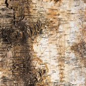 Background of birch bark with a knot — Stock Photo