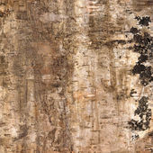 Background of birch bark — Stock Photo