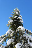 Evergreen conifer with snow covered branches — Stok fotoğraf