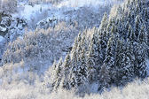 Winter panorama with snow clad forests — Stock Photo