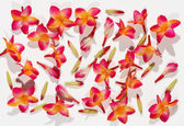 Background of variegated red freesias — Stock Photo