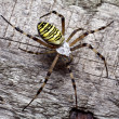 Stock Photo: Wasp spider