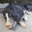 Pigs sleep - Stock Photo