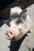 Vietnamese pig — Stock Photo