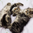 Stock Photo: Two kittens playing