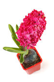 Hyacinth in a pot — Stock Photo
