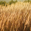 Dry reed — Stock Photo