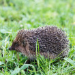 Hedgehog on grass — Stock Photo