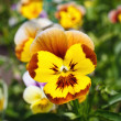 Foto Stock: Yellow pansy