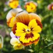 Pansy amarelo — Foto Stock