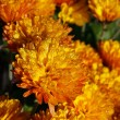 Orange chrysanthemum flowers — Stock Photo