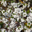 Cherry Tree in bloom — Stock Photo #41252625