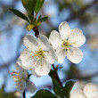 Cherry Blossom — Stock Photo #41252725