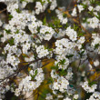 Stock Photo: Cherry Tree in bloom