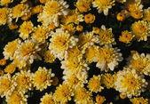 Yellow chrysanthemum flowers with dew drops — Stok fotoğraf