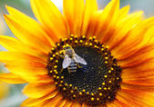 Sunflower With Bee  — Stock Photo