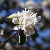 Gałąź drzewa w rozkwicie — Zdjęcie stockowe