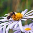 Bee on a daisy flower — Stock Photo #43989343