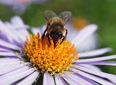 Bee och en tusensköna — Stockfoto