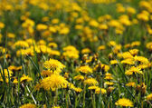 Dandelion field — Stockfoto