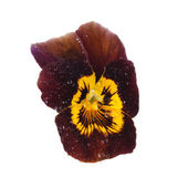 Brown pansy with dew drops  — Stock Photo