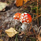 Red amanita mushrooms — Stock Photo