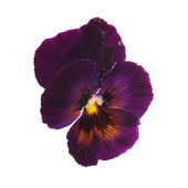 Purple pansy with dew drops  — Stock Photo